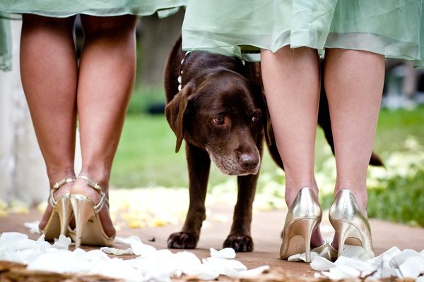 Black chocolate lab stands by bridesmaids in gold heels