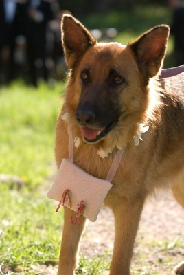 German Shepherd dog with ring pillow around neck