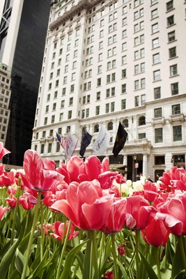 Pink tulip garden in front of The Plaza Hotel in NYC