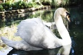 Live swans at Courtney Bingham and Nikki Sixx wedding