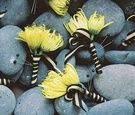 Men's floral boutonniere with striped ribbon