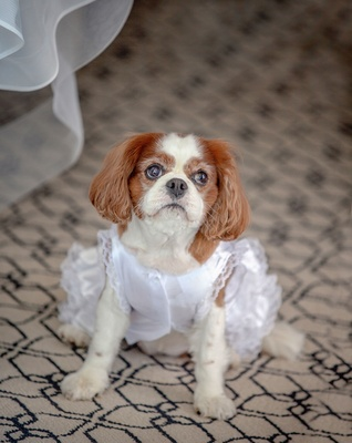 dog as flower girl, flower dog, cavalier king cocker spaniel in white dress