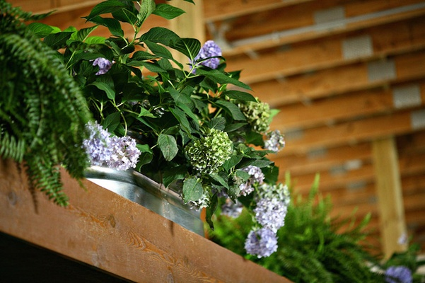 Barn wedding ceremony with ferns, greenery, purple and green hydrangeas in tin tub