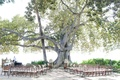 Hawaii wedding under banyan tree with wood chairs, wine barrel altar, and fresh flowers