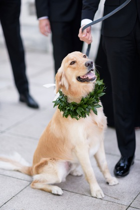golden retriever at wedding portrait with collar made of greenery ring bearer