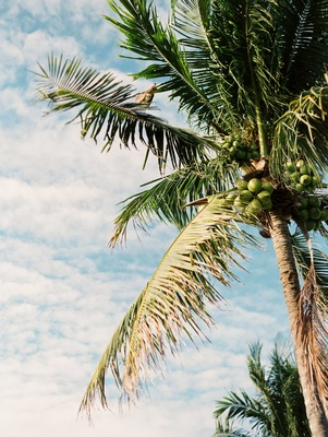 Palm tree with green coconut blue sky white clouds