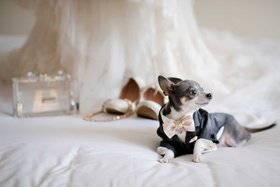 grey and white dog chihuahua in custom made bow tie suit and shirt with wedding accessories