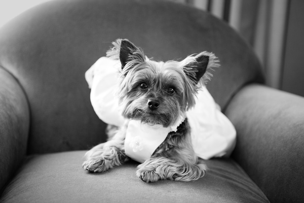 Black and white photo of Yorkshire Terrier