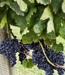 Wolffer Estate Vineyard purple grapes and leaves
