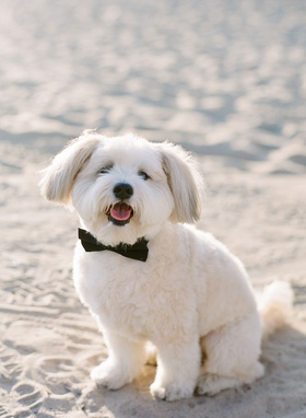 santa monica beach wedding with white dog in black bow tie for wedding