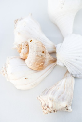White seashells in varying shapes