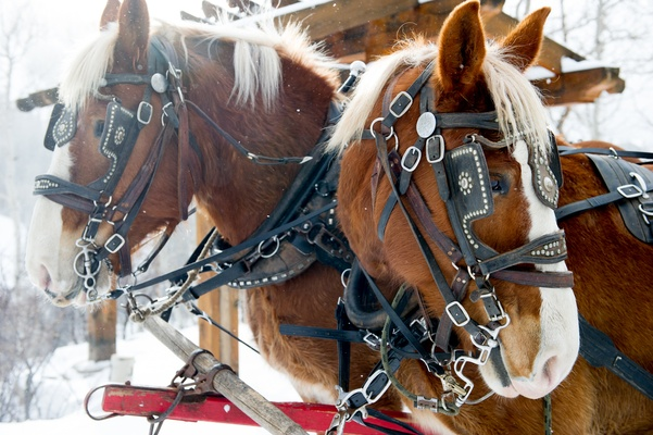 Furry Clydesdale horses in bridle with studs
