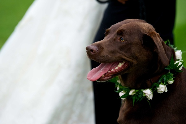 Chocolate Labrador Retriever with white rose collar at owners' country club wedding