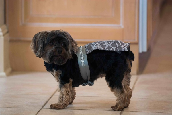 Yorkie dog wearing ring bearer outfit of lace