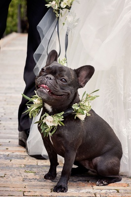 French bull dog at bride and groom's wedding with greenery and white flower collar and leash