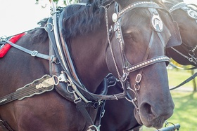 Brown horse with black mane wearing silver bridle at wedding