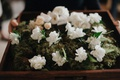Boutonniere on bed of moss white flowers ferns greenery