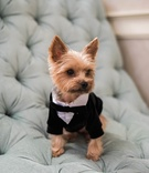 small yorkie puppy in tuxedo acts as ring bearer for wedding