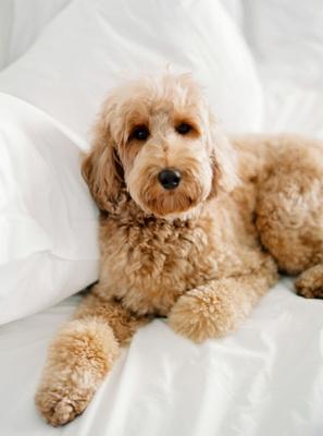 mariana paola vicente and enrique kike hernandez la dodgers red mini golden doodle dog white sheets
