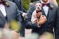 chihuahua dog in purple bow tie held by a groomsmen in a gray tuxedo acted as the ring bearer