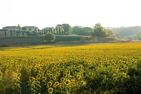 Field of golden sunflowers in Tuscany