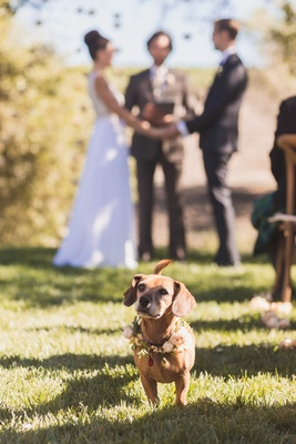 Bride and groom outdoor winery vineyard wedding ceremony dachshund-beagle mix dog with flower wreath