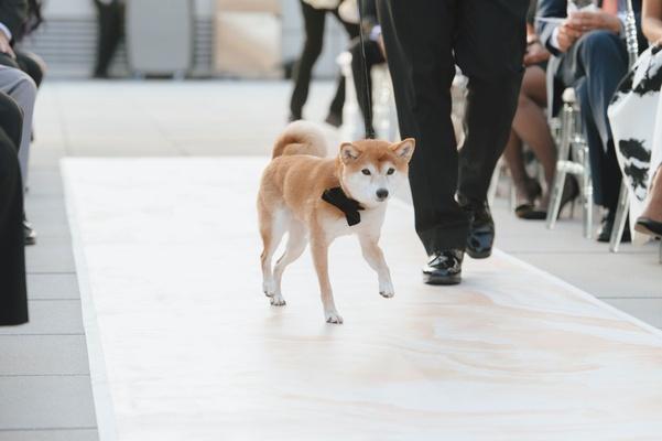 Wedding dog walking down aisle shiba inu puppy black bow tie rooftop ceremony