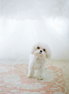Small white dog on light pink and ivory Persian rug with wedding dress in background