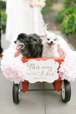 long haired chihuahuas in wedding wagon