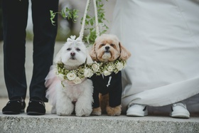 wedding attire for dogs white dog with tutu and tan dog with tuxedo greenery white flowers collars