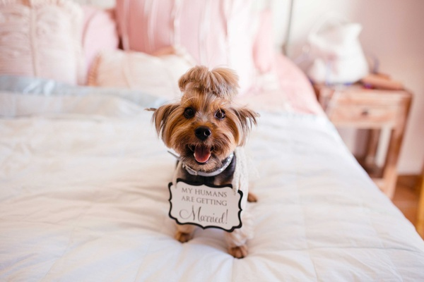 dog, dog with sign Yorkshire Terrier on bed in bridal suite