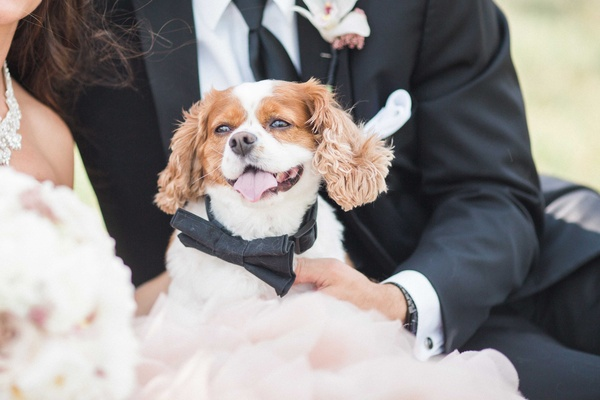 ring bearer dog wears a bow tie collar for wedding