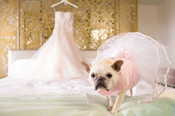 French bull dog frenchie pink dress tutu on dog wedding bridal suite getting ready bridal gown dress