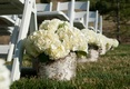Birch tree stumps with white hydrangeas along aisle