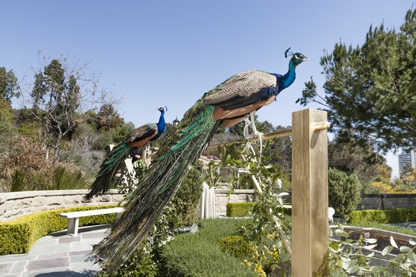 Live peacocks at Nikki Sixx and Courtney Bingham wedding