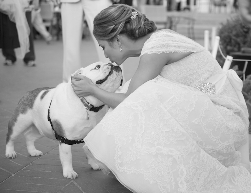 Black and white photo of bride kissing bulldog