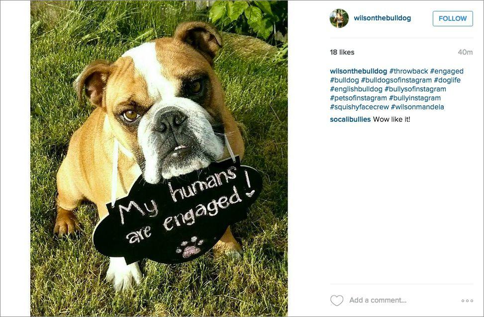 Bulldog engagement announcement on Instagram