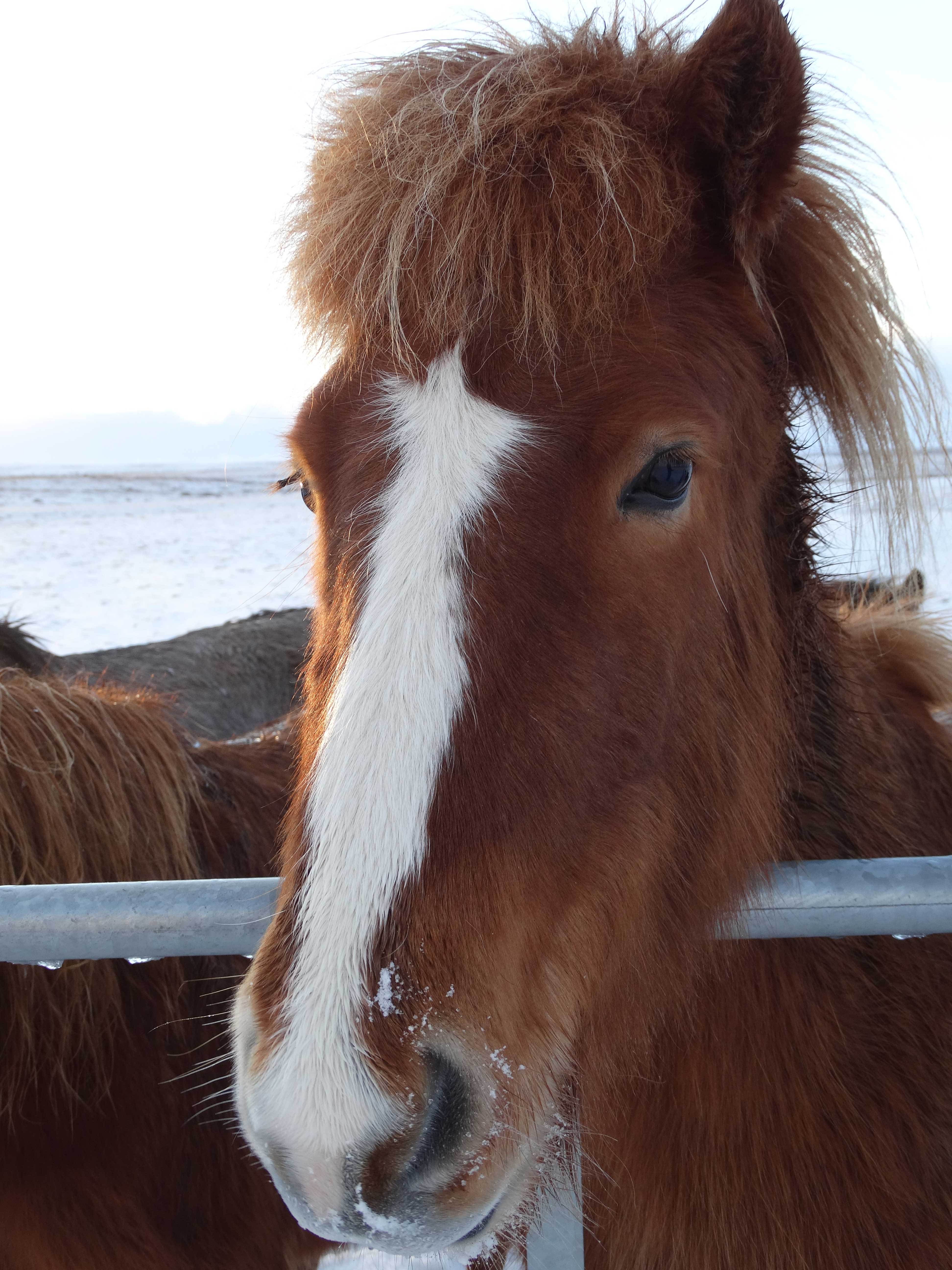 Cute horse in Iceland
