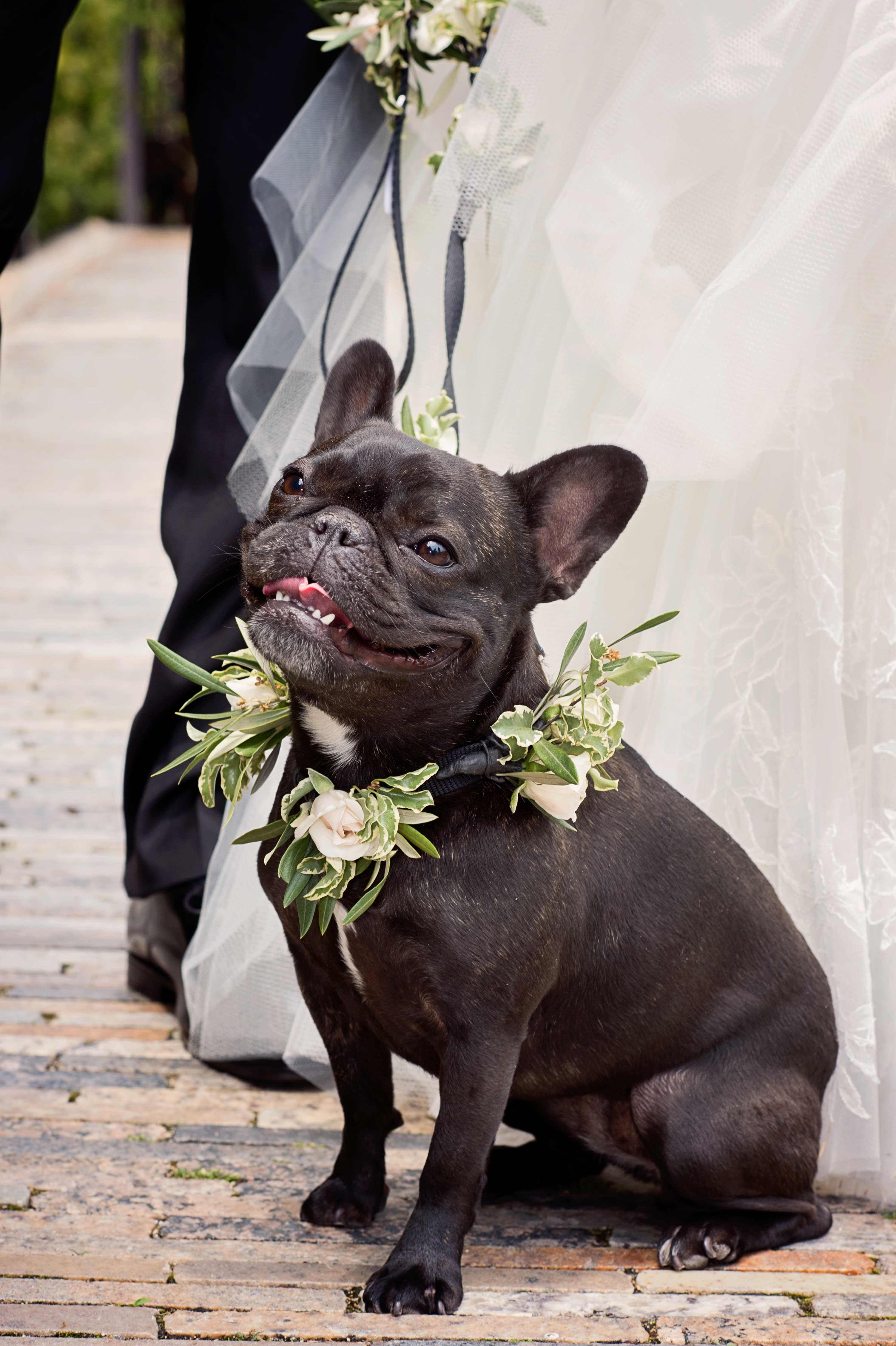 Bride and groom with black Frenchie French bull dog with flower rose wreath around collar neck Inside Weddings winter 2017 issue