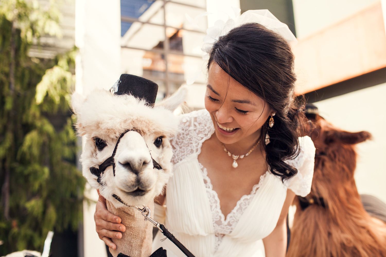Bride with llama and alpaca dressed up in top hat at wedding Rojo the Llama