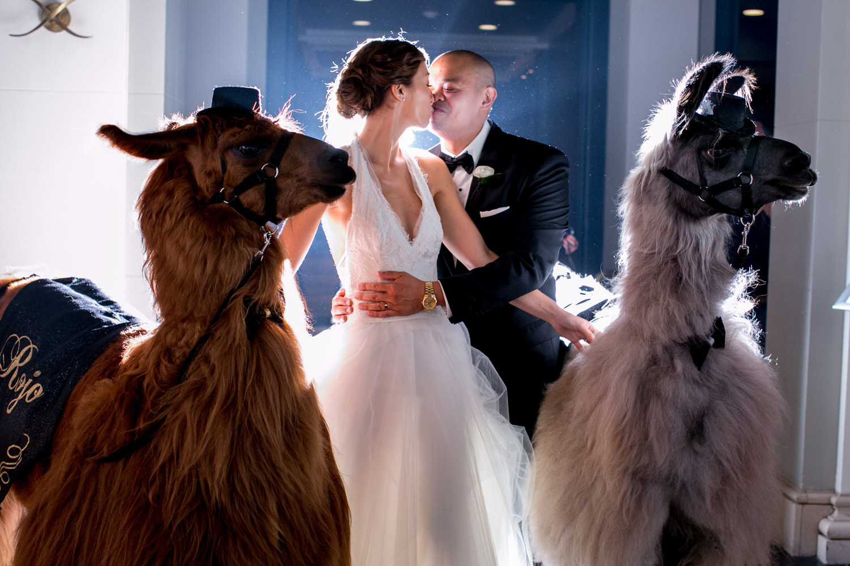 Bride and groom couple portrait with llamas alpacas at wedding Rojo the Llama