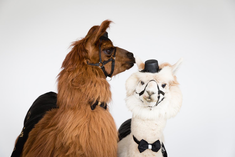 Llamas and alpacas at wedding dressed up like bride and groom Rojo the Llama