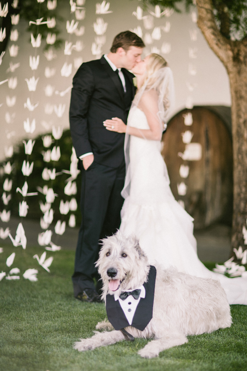 Big grey dog with tuxedo outfit in front of bride and groom at wedding