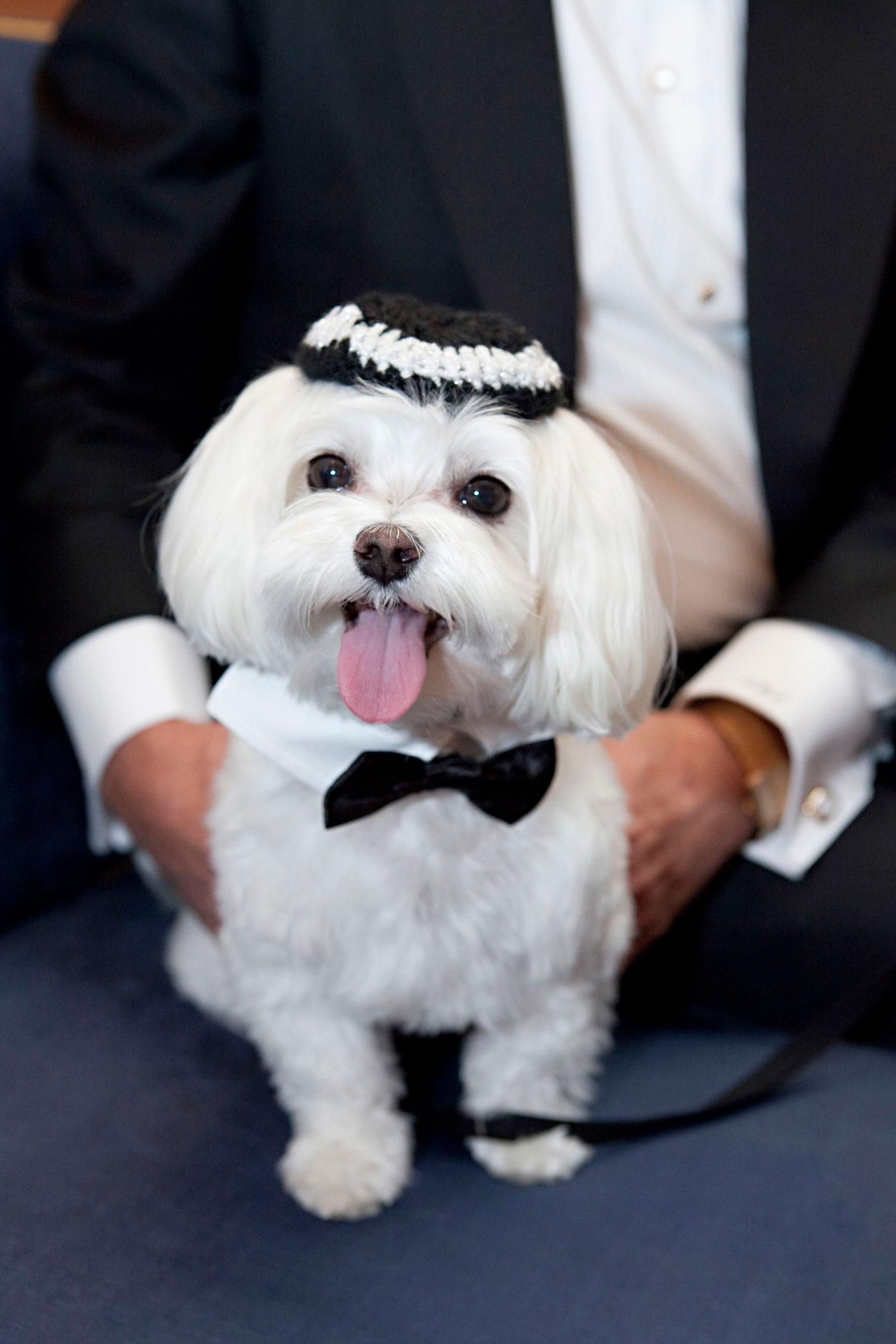 Small white dog with tuxedo and yarmulke for jewish wedding