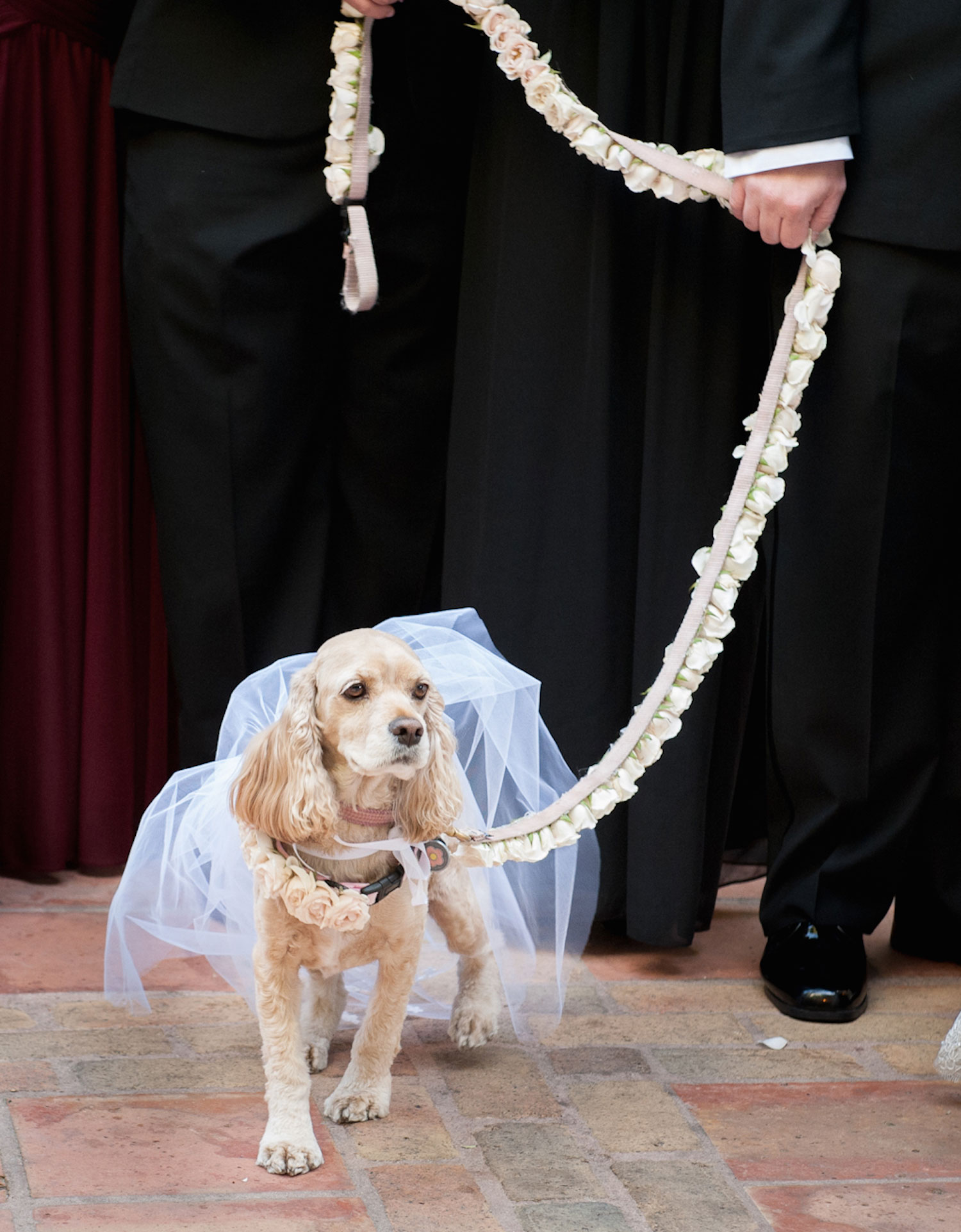 Cute cocker spaniel dog puppy in dress and leash with flowers wedding