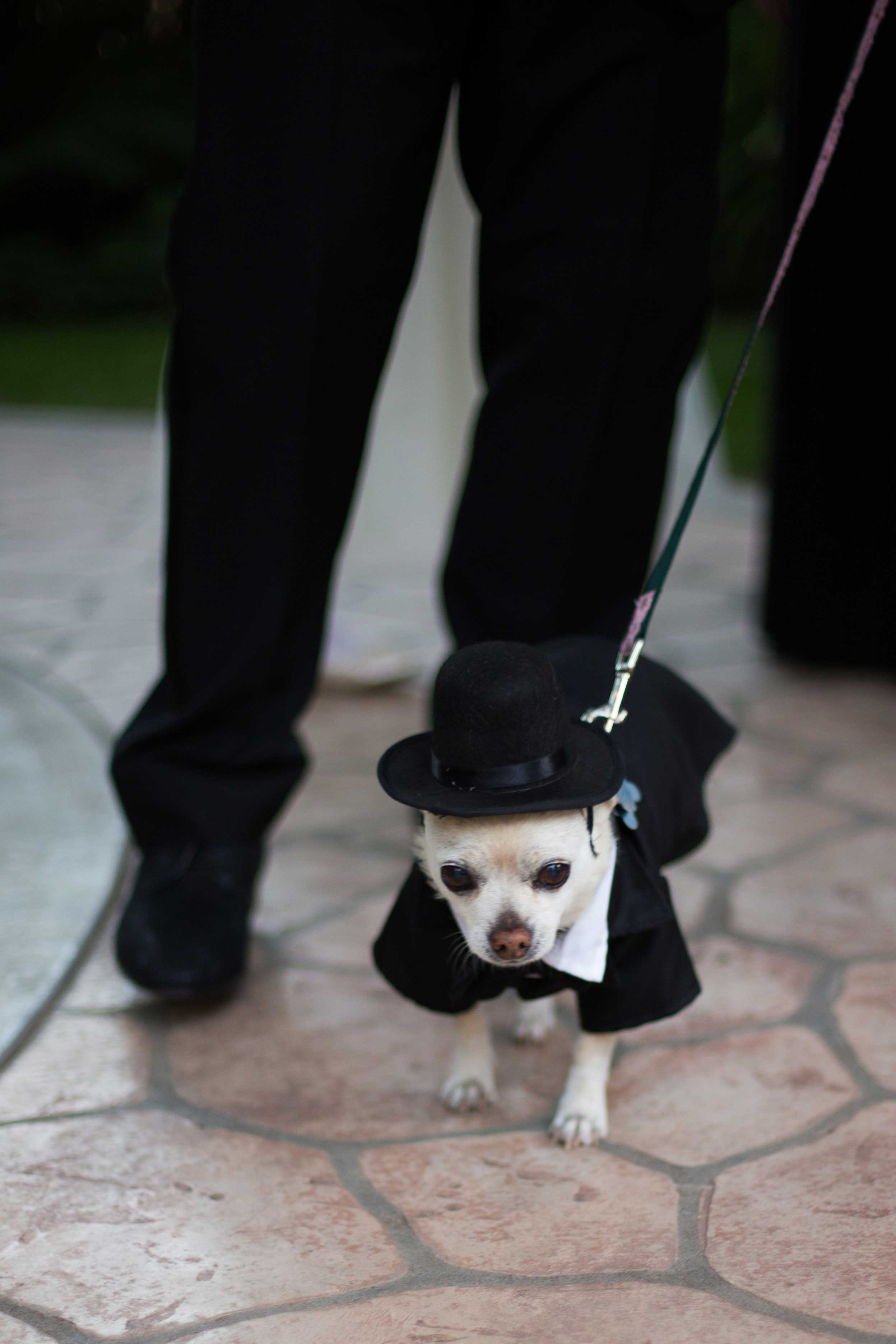 Little dog chihuahua at wedding ceremony in tuxedo and top hat