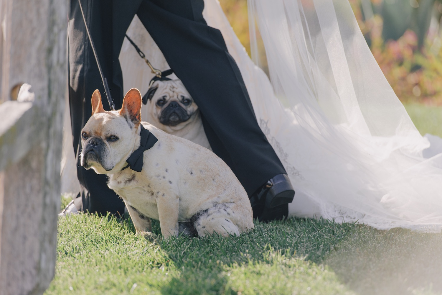 Nick Carter and Lauren Kitt wedding french bulldog frenchie and pug at wedding ceremony