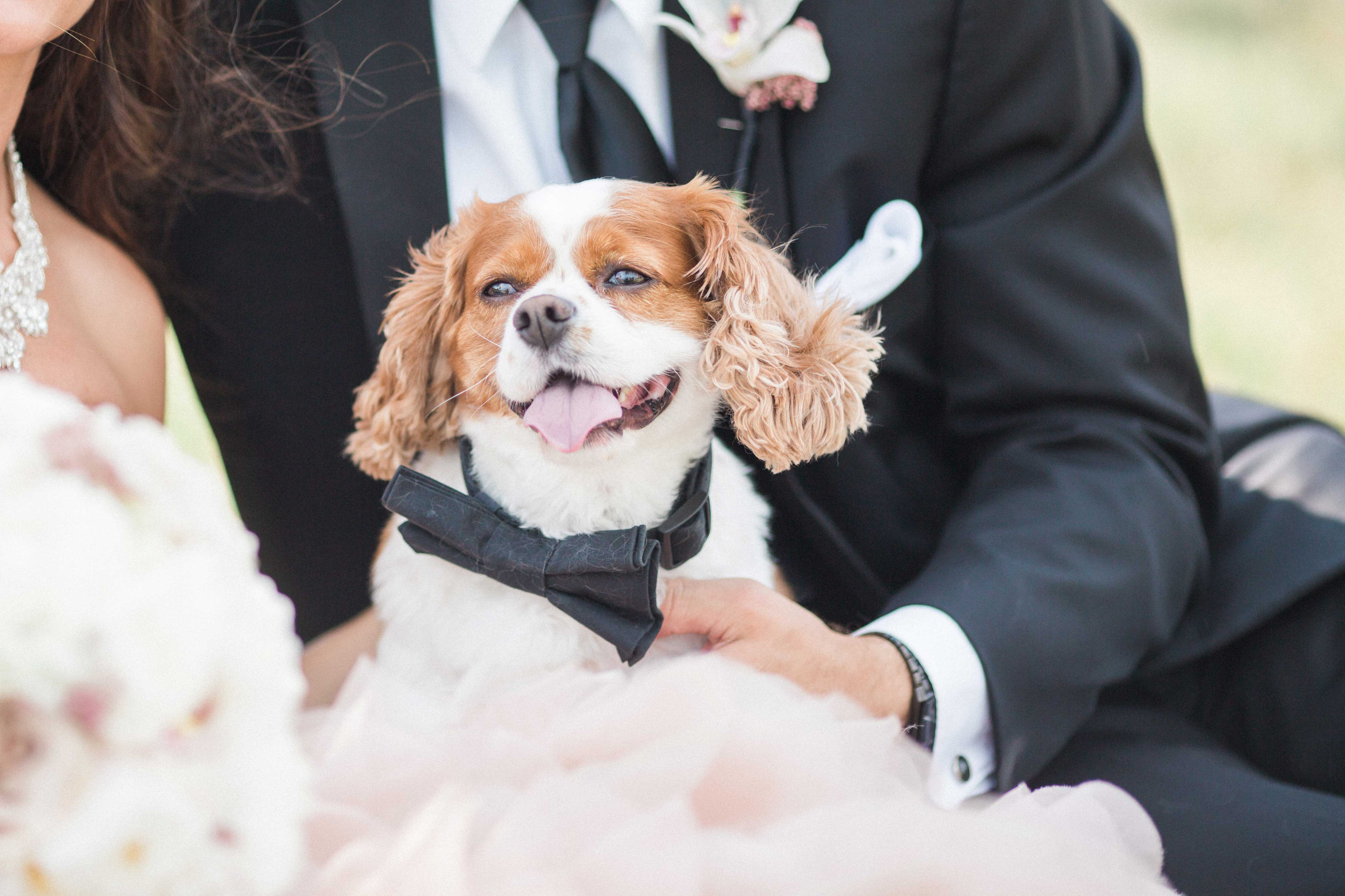 Cavalier King Charles dog puppy in audience of wedding ceremony