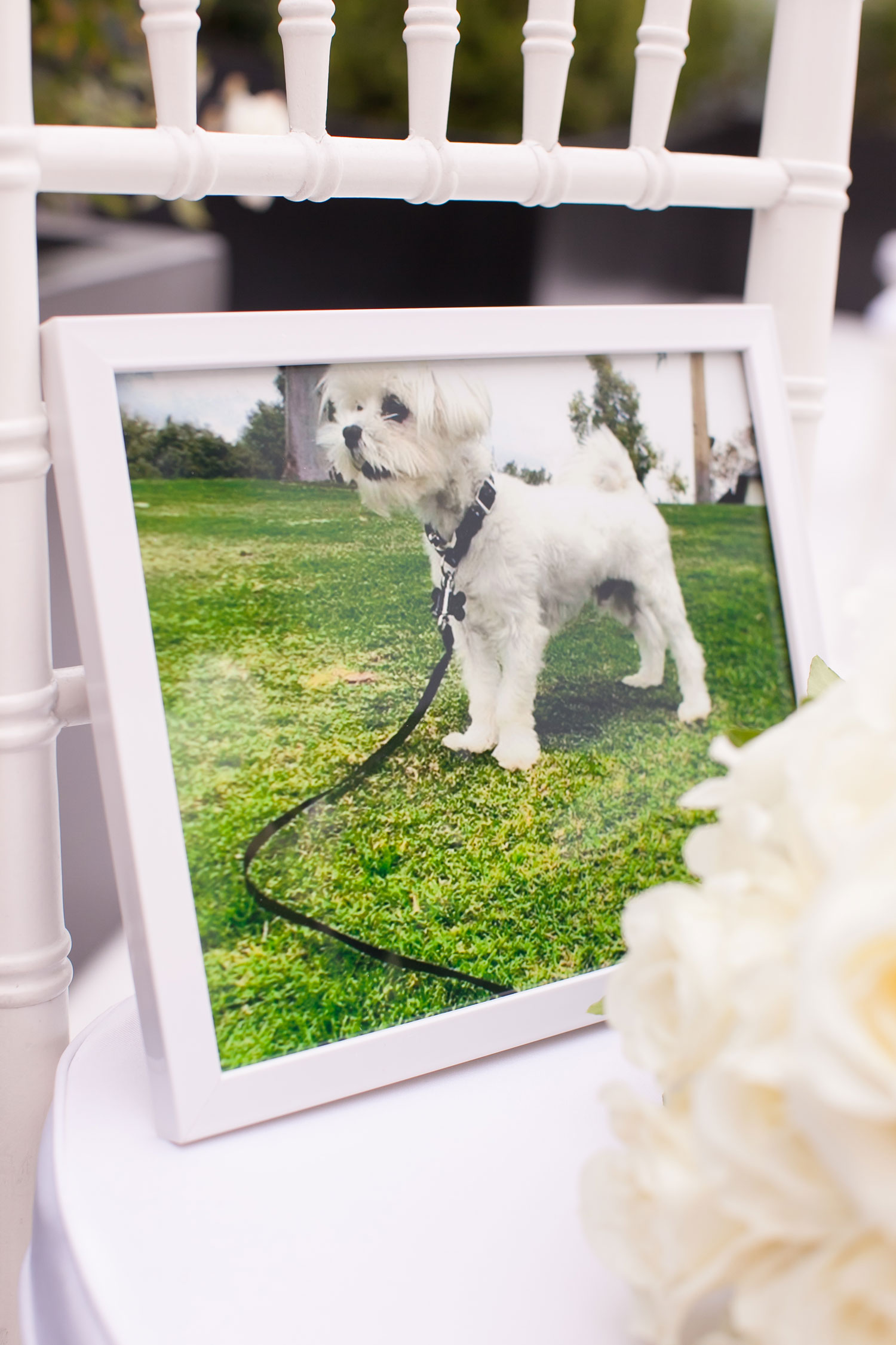 Photo of dog in frame on white ceremony chair at outdoor wedding