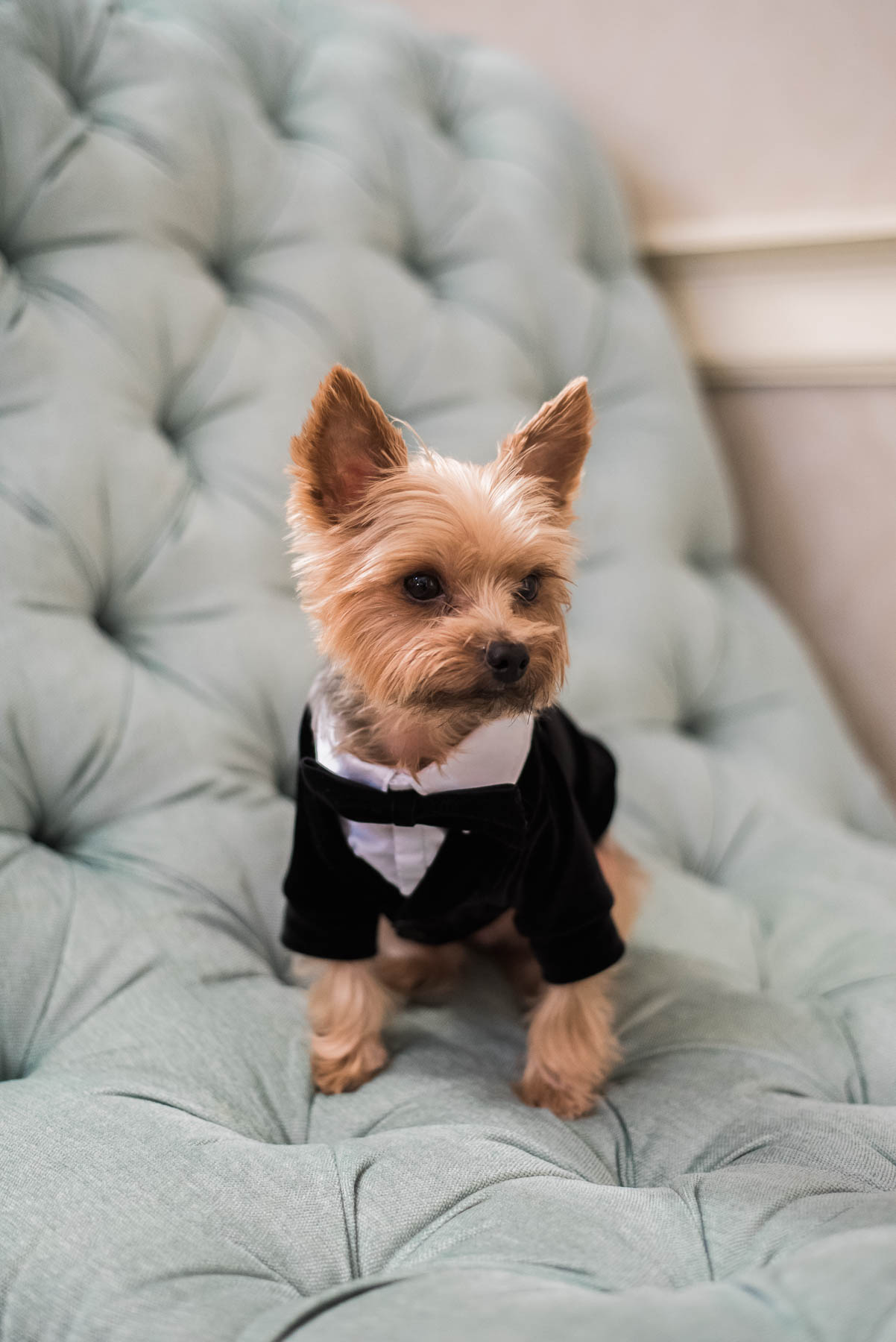 cute little yorkie yorkshire terrier with miniature tuxedo outfit wedding ideas
